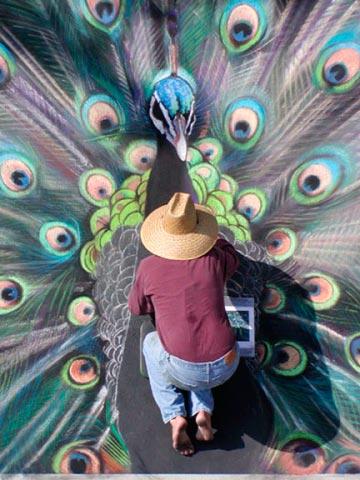 Tryon_peacock